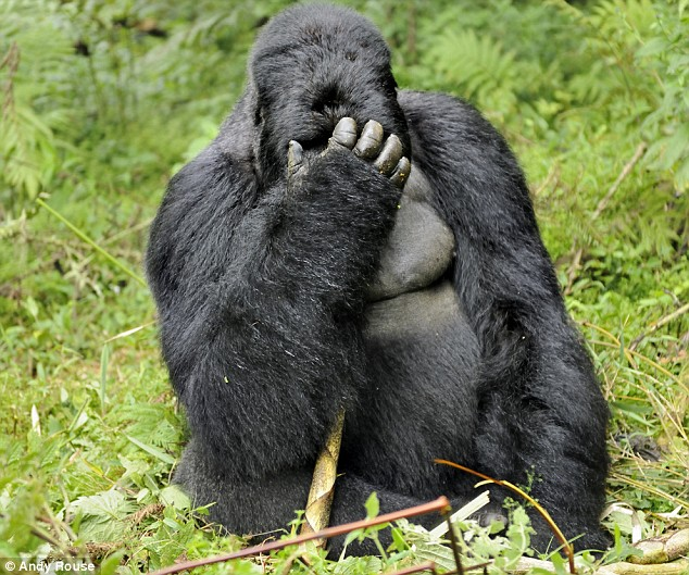 Unhappy gorilla