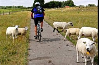 Many sheep and bike