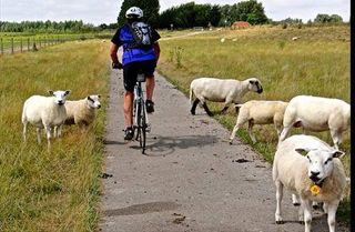 Many sheep and bike
