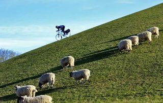 Cycle sheep